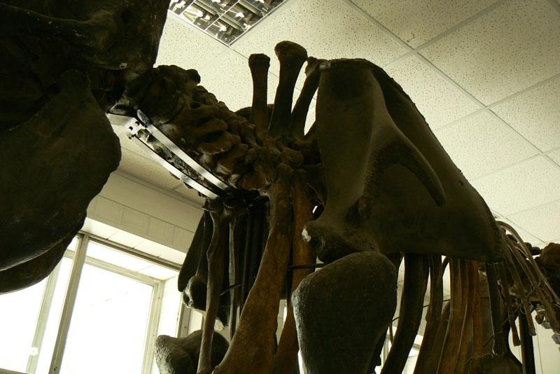 Трогонтериевый слон. Институт археологии и этнографии СО РАН