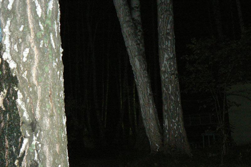 Ночная съемка. Березы ночью